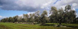 Frantoio Presciuttini - Olive Groves
