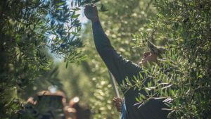 Marina Colonna - Olive oil tasting and harvest